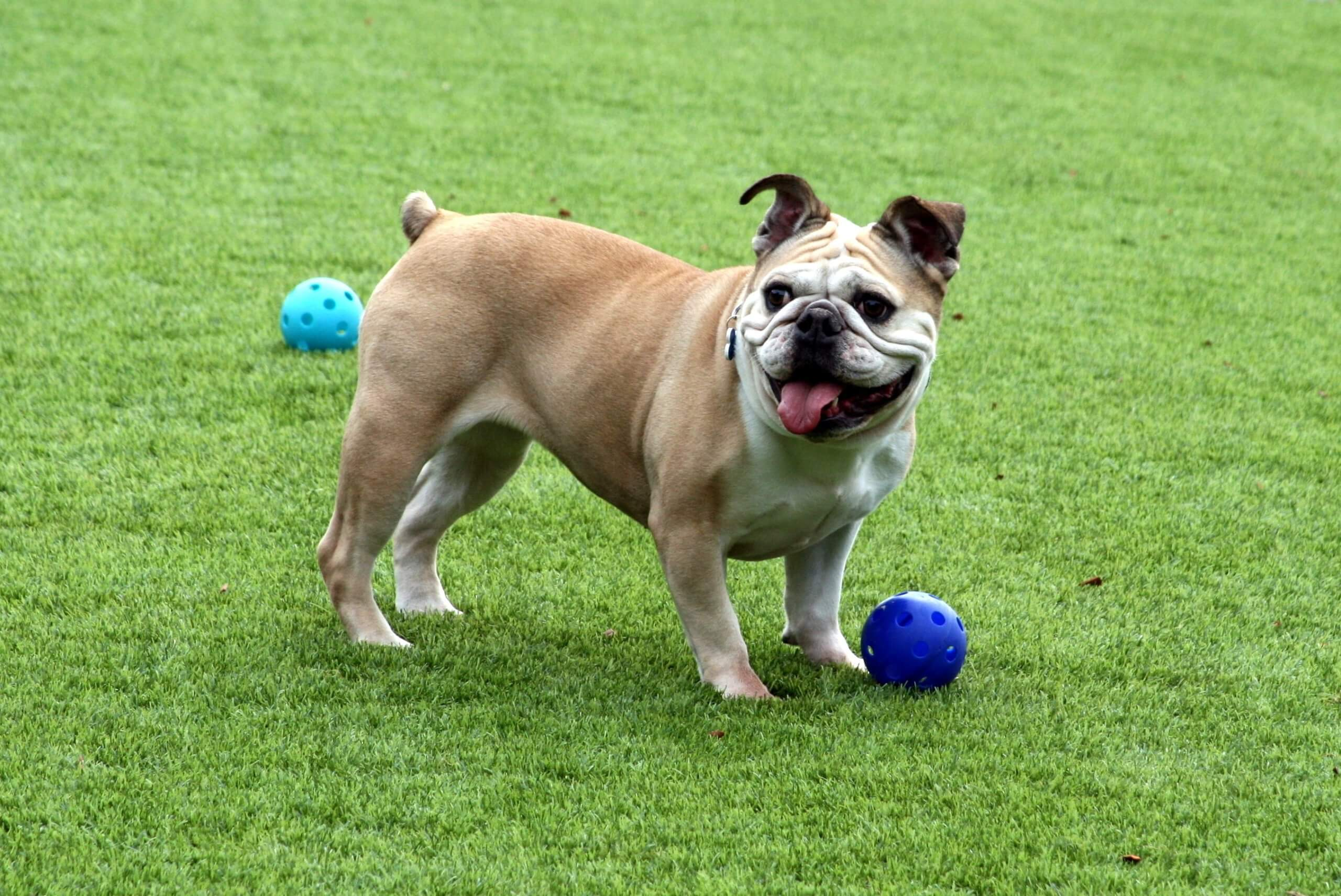 dog bully playing ball on artificial grass